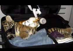 bangkok airport officials find drugged tiger cub in