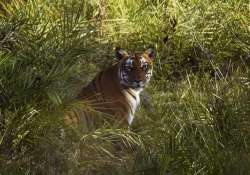 tigers of sunderbans may soon be compelled to enter human