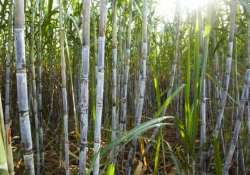 sugarcane research institute to be opened in bihar