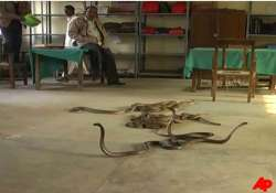 snake charmer releases snakes in up tehsil to teach bribe