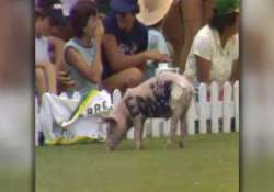 cricket fan to be counseled over pig smuggling