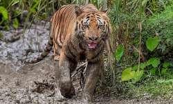 Man falls prey to tiger attack in Madhya Pradesh