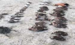 Thousands of migratory birds die mysteriously in Rajasthan's Sambhar Lake