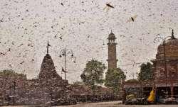 locust attacks rajasthan, locust attacks india, india locust attacks, locust attacks rajasthan, locu