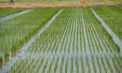Rice, Haryana, Punjab