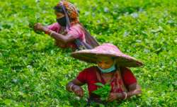 Rare Assam tea sells for ₹ 75,000 per kg at auction