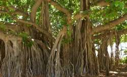 300-yr-old Banyan tree in Chandni Chowk awaits saviours